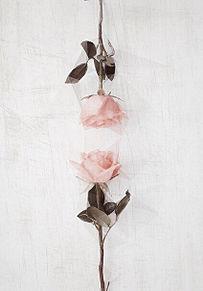 バラの画像(おしゃれ パステル 待ち受けに関連した画像)