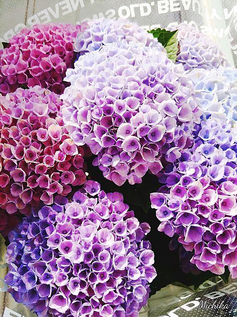 夢の紫陽花カラーの画像(プリ画像)