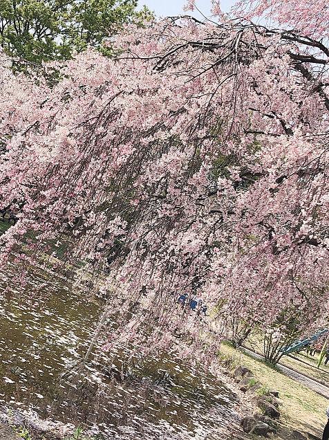 🌸桜🌸の画像(プリ画像)
