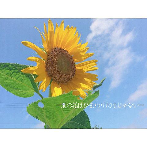 夏の花は向日葵だけじゃないの画像(プリ画像)
