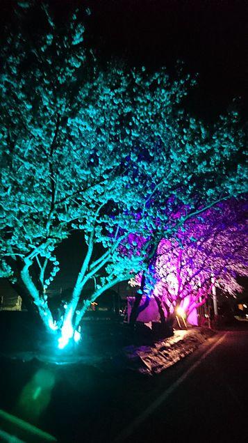 桜の花の画像(プリ画像)
