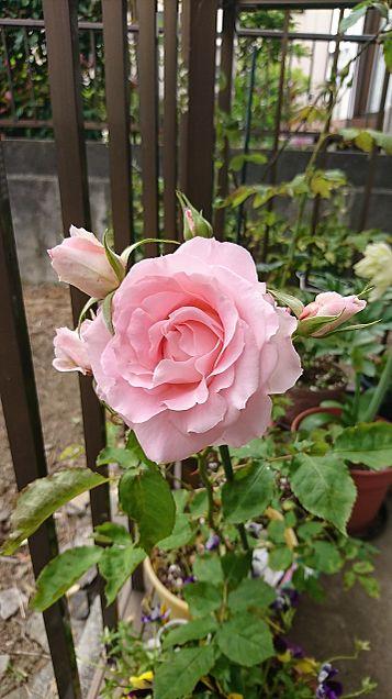 お花の画像(プリ画像)