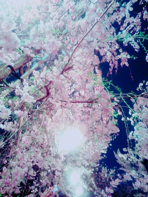 枝垂れ桜の画像(プリ画像)