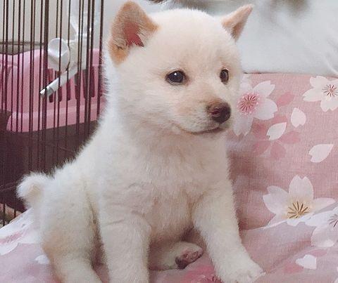 桜色のかわいい子犬