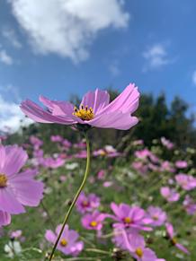 秋桜。の画像(コスモに関連した画像)