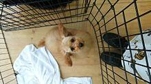 トリミングした子犬の画像(プリ画像)
