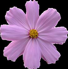 背景透過 秋桜 コスモス 花 スタンプ 素材の画像(コスモスに関連した画像)