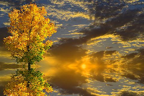 半透明 秋 風景 自然 夕焼け 黄葉樹 素材 背景の画像 プリ画像