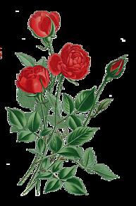 背景透過  真紅の薔薇 加工用素材の画像(加工用に関連した画像)