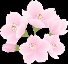 背景透過  桜  桜花  桜色  和風の画像(加工用に関連した画像)