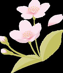 背景透過  桜  桜花  葉桜の画像(加工用に関連した画像)