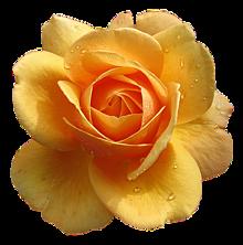 背景透過  薔薇  バラ  ローズ プリ画像