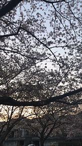 Cherry blossomnightSkyの画像(Cherryに関連した画像)
