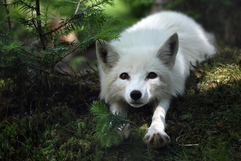 白いキツネのだらりとした姿がかわいい