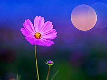 満月と秋桜  (マイコレはポチ押す)
