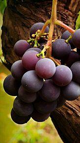 秋の果物*葡萄  (マイコレはポチ押す)の画像(プリ画像)