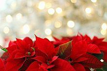 X'mas  クリスマス  ポインセチアの画像(クリスマスレッドに関連した画像)