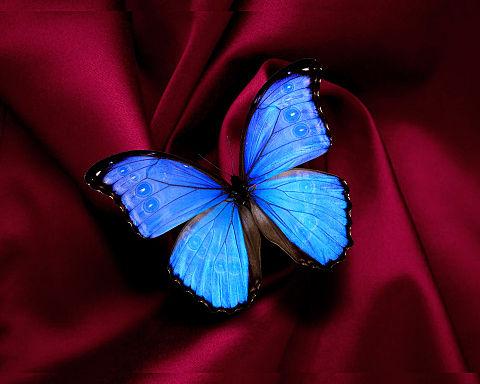 蝶  モルフォ蝶  バタフライの画像(プリ画像)