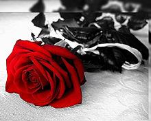 真紅の薔薇🌹  バラ  ローズ プリ画像