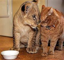 猫と子ライオンの画像(プリ画像)