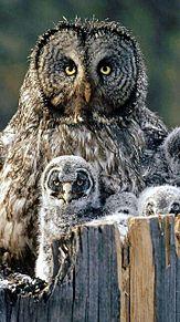 カラフトフクロウの親子の画像(プリ画像)