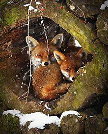 冬のキツネの画像(プリ画像)