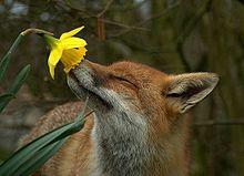 早春のキツネの画像(プリ画像)