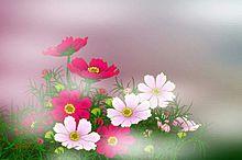 霧に霞む秋桜   (説明文 必読)の画像(プリ画像)