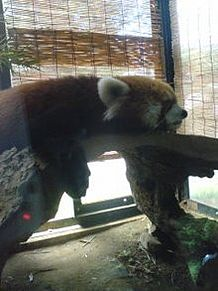 レッサーパンダ 動物園 動物の画像(プリ画像)