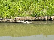 茨城県 河内町 野生の亀  プリ画像