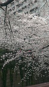目黒川の桜の画像(目黒川に関連した画像)