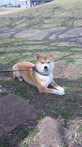 柴犬の美海 プリ画像