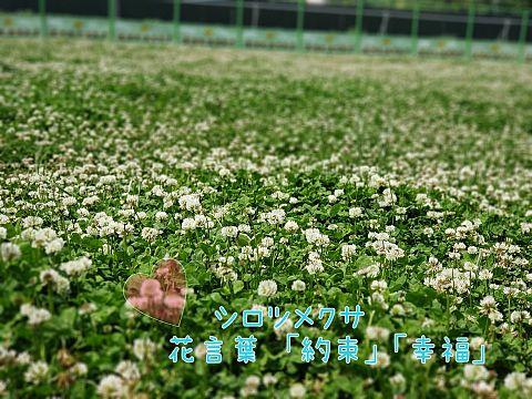 シロツメクサ の 花 言葉