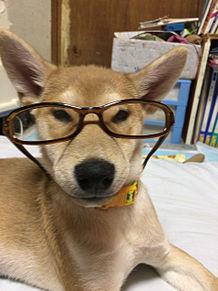 柴犬ちゃん!子犬!の画像(プリ画像)