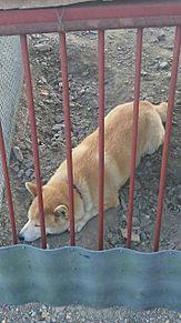 うちのばか犬の画像(プリ画像)