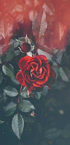 薔薇の画像(iPhone壁紙に関連した画像)