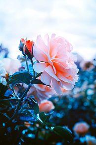 花の画像(iPhone待ち受けに関連した画像)