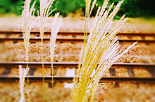 ススキの花。の画像(実写に関連した画像)