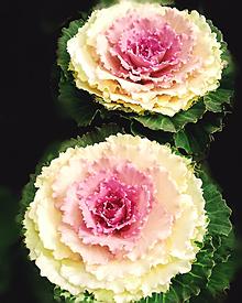 葉牡丹。の画像(葉牡丹に関連した画像)