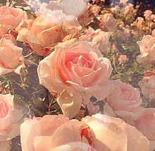 バラの画像(バラに関連した画像)