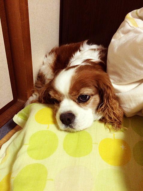 そら(愛犬)が可愛く寝てる姿撮影してみたwの画像 プリ画像