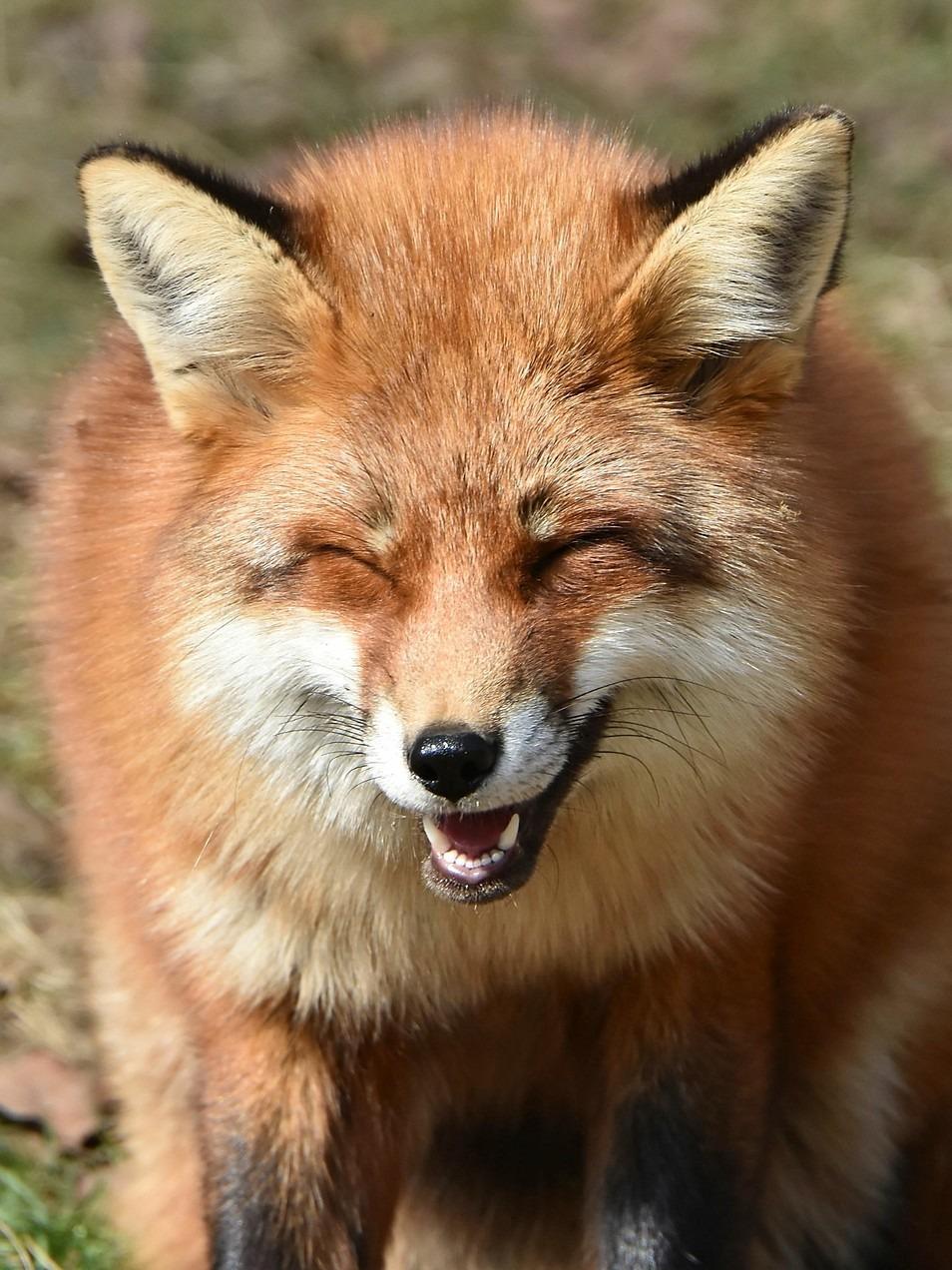 キツネの笑顔がかわいい