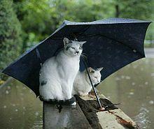 梅雨時の猫の画像(梅雨時に関連した画像)