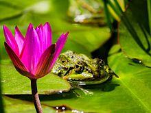蓮と蛙の画像(梅雨時に関連した画像)
