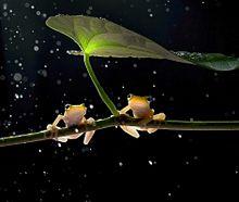 蛙のペアの画像(雨宿りに関連した画像)