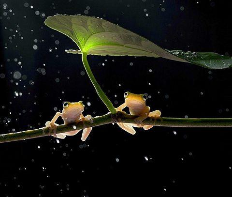 蛙のペアの画像 プリ画像