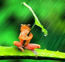 雨降りの蛙の画像(蓮/ハスに関連した画像)