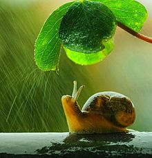 雨降りのカタツムリの画像(梅雨時に関連した画像)