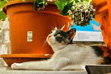 紫陽花と猫の画像(梅雨時に関連した画像)