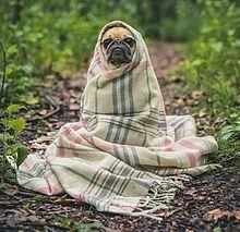 毛布にくるまるパグ犬の画像(いぬに関連した画像)